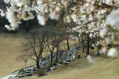 春の月明洞 白い花