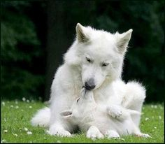 White wolf with cub