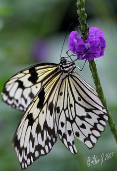 Paper Kite or Tree Nymph butterfly (Idea leuconoe) Flying Insects, Bugs And Insects, Butterfly Kisses, Butterfly Flowers, Butterfly Dragon, Monarch Butterfly, Beautiful Bugs, Beautiful Butterflies, Butterflies Flying