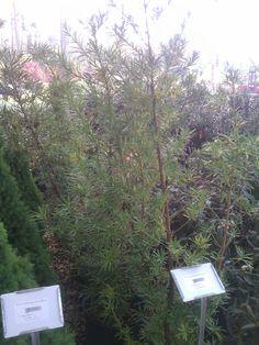 Podocarpus Yew $50