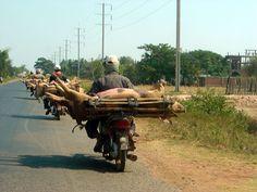 Cambodia, budget pig transport