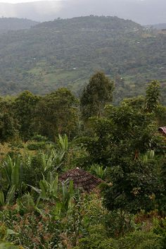 Kochere Sidama. by Dallis Bros. Coffee, via Flickr.  #Ethiopia