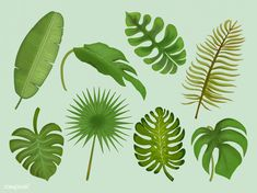 Set of tropical leaf illustrations Stock Photo , Outdoor Pouf, Leaf Illustration, Green Banana, Leaves Vector, Ornamental Plants, Tropical Leaves, Free Illustrations, Gray Background, Leaf Tattoos