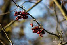 Autumn Rowan Photograph by Svetlana Svetlanistaya  #Svetlanistaya #Rowan #Nature #Autumn #PhotographyPrints #HomeDecor #InteriorDesign