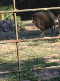Zoo Arcachon - Lion 2