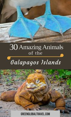 As a result of the conservation efforts on the #Galapagos Islands, this #UNESCO World Heritage Site has a remarkable amount of mammals, reptiles and birds. In this article we highlight some of the most exotic via @greenglobaltrvl