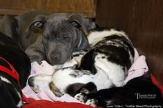 Dominic The Pit Bull Puppy Cuddles And Comforts Animal Patients At Colorado Veterinary Clinic #pitbulls #adopt #endbsl