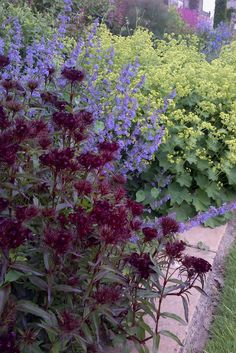 Dark sweet william (foreground), Nepeta (catmint, blue flowers) and Alchemilla mollis (background).  - Wiston House West Sussex June 2013