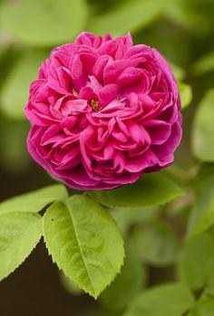 Rose de Rescht Old Garden Rose