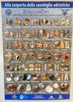 Esposizione di conchiglie adriatiche al MAS Ravenna, Museum