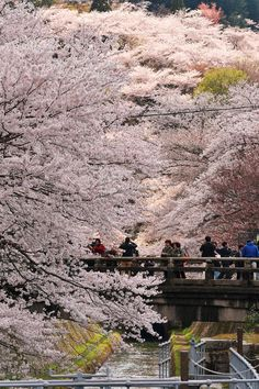 Cherry blossoms in Japan.  How I would love to see them.