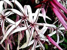 Live Plant Rare Giant Red Amazon Crinum Lily Fragrant Amazon Queen, Tropical Landscaping, Tropical Plants, Tropical Garden, Orange Flowers, White Flowers, Swamp Lily, Asian Lilies