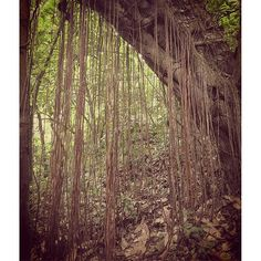 【whekau】さんのInstagramをピンしています。 《In the magic forest on the slopes of volcano Maderas, Ometepe island, Nicaragua.  #forest #rainforest #trees #plants #jungle #mountains #roots #volcano #nature #landscape #travel #tropics #nicaragua #centralamerica #лес #тропики #джунгли #деревья #растения #путешествия #корни #природа #пейзаж #никарагуа #森林 #木 #自然 #風景 #旅行 #ニカラグア》