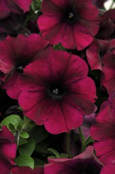 Easy Wave Burgundy Velour petunias look like they belong in a Victorian-era mansion (and always on our front porch). Burgundy Flowers, Red Flowers, Beautiful Flowers, Petunias, Petunia Flower, Morning Glory Flowers, Easy Waves, Annual Flowers, Diy Planters