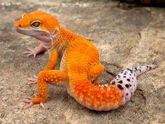 Geralmente as lagartixas-leopardo (como a da foto) não apresentam esta cor.