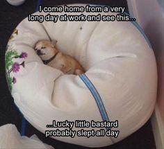 Chihuahua loaf