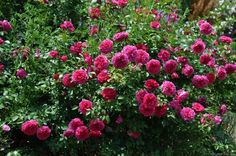 'Ivor's Rose' Rose Photo (maybe only a little shade, english bred rose, Peter Beales)
