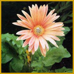 Gerbera, eine buschige #Pflanze mit Blüten in vielen Farben.  Die #Gerbera hat keinen richtigen Jahreszyklus, Sie blüht das ganze Jahr hindurch, auch im Winter – wenn nur die Temperatur hoch genug ist.  http://www.gartenschlumpf.de/gerbera/
