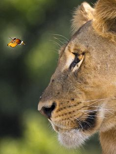 Butterfly with Lion only the wild horse and the black bird are missing