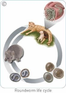 Zoetis - Cat Parasites Inflammation Of The Colon, Parasite Cleanse, Intestinal Parasites, Veterinary Care, Rio Grande Do Sul, Allergies, Brazil, Dog Cat, Cats