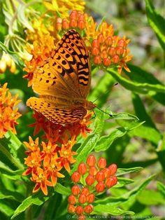 Great Spangled Fritillary on Butterfly Weed (Asclepias tuberosa) ⓒ michaela medina - thegardenerseden