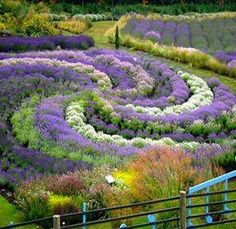 ♡Lavender swirl. For a full board of pins of lavender in gardens and fields, sachets and wands, cakes and ice creams etc. with 'No Pin Limits' Click here: https://www.pinterest.com/annesminis/~-lavender-garden-culinary-~/