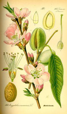 fiori frutti e semi del mandorlo