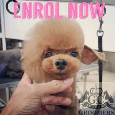 Dog Grooming Styles, Dog Grooming Tips, Poodle Grooming, Grooming Salon, Cortes Poodle, Shih Tzu Poodle, Poodle Hair, Creative Grooming, Dog Spa