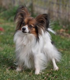 Papillon- Love Love Love this breed, I have wanted one for about 10 yrs and in my head and already named her gizmo because they remind me of a Gremlin.  :)
