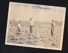 Antique Vintage Photograph Two Men & Little Boy Working in Tobacco Field