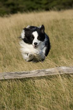 Chaz the Flying Border Collie