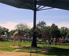 Giraffes at Como Zoo in St. Paul, Minnesota