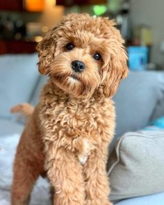 Dog Breeds Little Cavapoo Puppies: Information Characteristics Facts Videos - DOGBEAST.Dog Breeds Little Cavapoo Puppies: Information Characteristics Facts Videos - DOGBEAST Super Cute Puppies, Cute Baby Dogs, Cute Little Puppies, Cute Dogs And Puppies, Cute Little Animals, Cute Funny Animals, Pet Dogs, Doggies, Funny Dogs