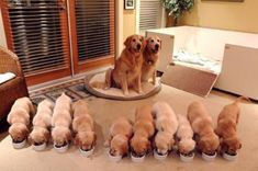 Proud parents - mom and pop golden retriever look very proud of their 10 new golden puppies. Animals And Pets, Baby Animals, Funny Animals, Cute Animals, Animal Babies, Wild Animals, Cute Puppies, Cute Dogs, Dogs And Puppies
