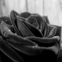 Black Rose Wallpapers HD Pictures One HD Wallpaper Pictures Best Flower Wallpaper, Diamond Wallpaper, Rose Wallpaper, Wallpaper Images Hd, Wallpaper Quotes, Wallpapers, Black And White Effect, Beauty In Art, Black Beauty