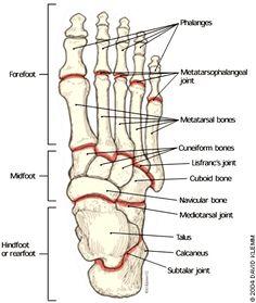 Foot Bone Anatomy On HealthFavo.com - Health, Medicine and Anatomy Reference Pictures