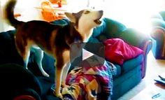 FUNNY HUSKY THROWING GOOFY TEMPER TANTRUM  |  This goofy dog acts like a little kid who thoughly protests and refuses to do what you tell him to do. The pooch refuses to stop watching TV on the couch. Remind you of any kids you know?
