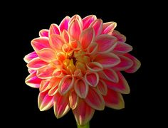 ~~dahlia sugartown sunrise~~