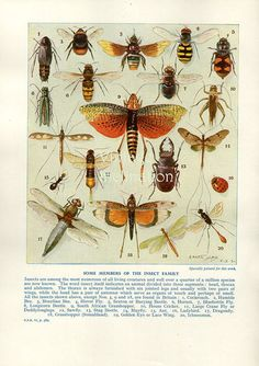 Antique Natural History Print  1950 INSECTS by VintageInclination, $14.90