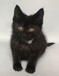 **Must be pulled by a New Hope Rescue**http://nyccats.urgentpodr.org/butterfingers-14395/  6 weeks old, Female, Black, Stray, Super Urgent Shelter Cats  These animals are either high risk, injured or have previously appeared on the To Be Destroyed list and survived. They are in danger of being on the list again or destroyed without any further notice.