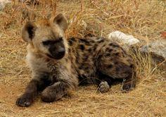 hyena baby | Baby Hyena