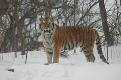 Tiger in the Snow at Tiger Mountain in the Bronx Zoo