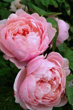 'The Alnwick'   Shrub. English Rose Collection. David C. H. Austin, 2001   Flickr - © Kiri Wood