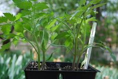 tips for growing better tomatoes from seed - A Way To Garden