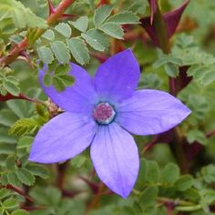 All Flower Seeds Buy Flowers, White Flowers, Vegetable Seeds Online, Campsis, Clematis Montana, Gardens Of The World, Hardy Perennials, Free Plants