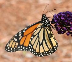 Pictures of monarch butterflies (species Danaus plexippus). Description from…