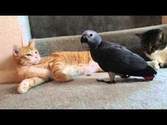 Parrot learns how to cat like a PRO and totally infiltrates the gang. Funny Animals, Cute Animals, Funny Parrots, How To Cat, Bird Gif, African Grey Parrot, Funny Kids, Beautiful Birds, Dog Cat