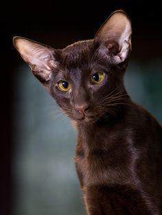 #Oriental #Short #Hair #Kitten