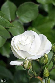 Bag End: On helteitä pidellyt White Roses, White Flowers, Single Rose, Rose Bush, Garden Fencing, White Gardens, Green Garden, Topiary, Christmas Inspiration