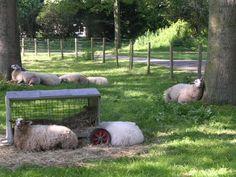 De schapen liggen lekker te luieren in Stadsboederij het BuitenBeest.